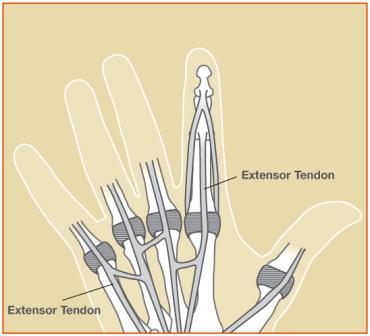 diagram of extensor tendons on hand