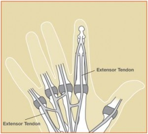 Diagram of Extensor Tendons on hand