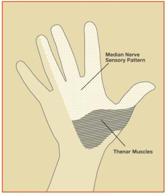 Aspects of the median nerve function